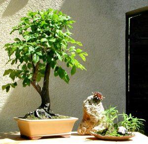 bonsaï doit avoir la tête arrondie - présentation