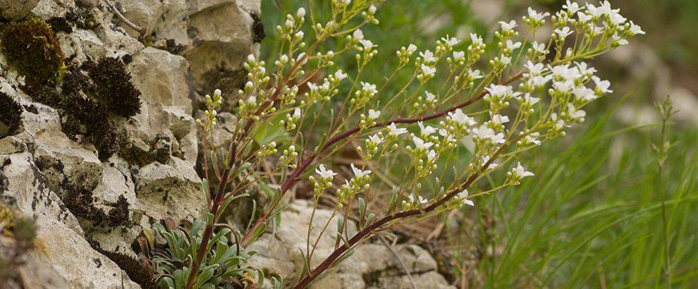 sylvestre et les saxifrages - image